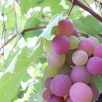 【マッサン】軍事目的で生産された酒石酸 その用途とは?ドウカでワイン醸造開始
