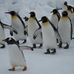 【あさが来た】五代が言う「ファースト・ペンギン」の意味とは?